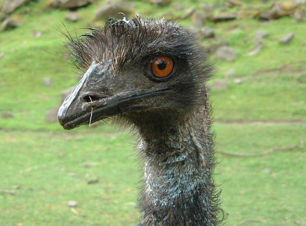 045d91949b Emus, native to Australia, are available for sale at Schreiner Farms.