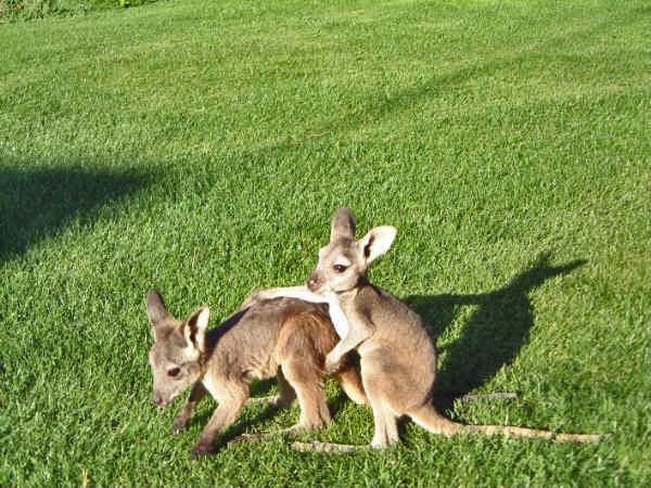 wallaroo - photo #26